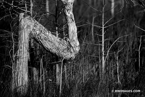Z TREE DWARF CYPRESS EVERGLADES FLORIDA BLACK AND WHITE