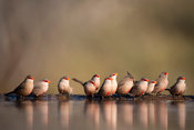 Flock of common waxbill, Estrilda astrild, Zimanga Game Reserve, South Africa