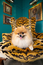 Pomeranian in Designer Chair with Mischievous Expression