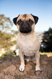 Close-up of Pug Sitting on Rocks