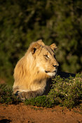 Young male lion, Panthero leo, Shamwari Game Reserve, South Africa