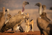 Black-backed jackal, Canis mesomelas, and white-backed vulture, Gyps africanus, Zimanga Game Reserve, South Africa