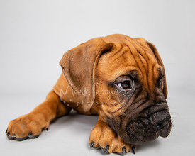 Mastiff Puppy Resting Head on Paw on Gray Background
