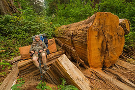 Fallen Western Redcedar in Olympic National Park
