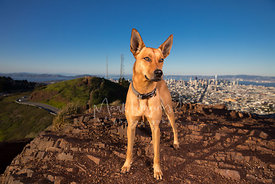 Red Hound Mix on Twin Peaks in SF