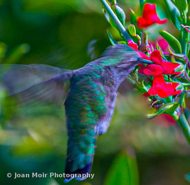 Hummingbird_Journey_VII
