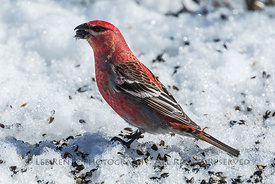 Male Pine Grosbeak in Minnesota's Sax-Zim Bog