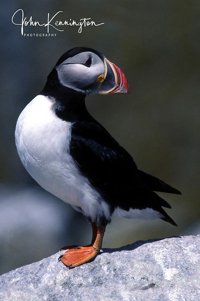 Common Puffin No. 4, Macahis Seal Island, New Brunswick, Canada (Maine)