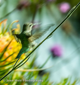 Hummingbird_Journey_I-2