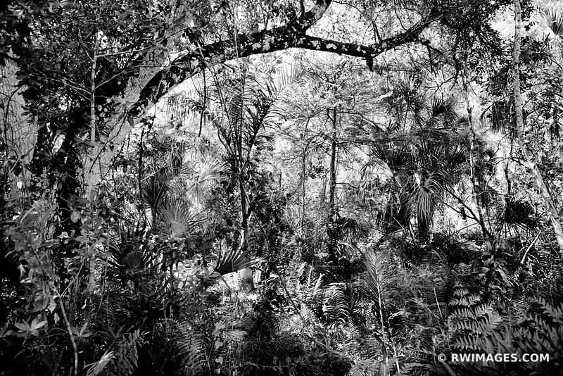 SUB TROPICAL FOREST BIG CYPRESS BEND FAKAHATCHEE STRAND PRESERVE STATE PARK EVERGLADES FLORIDA BLACK AND WHITE