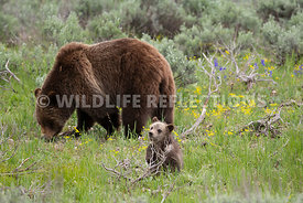 grizzly_bear_tetons_06202020-6