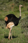 Male common ostrich, Struthio camelus, Addo Elephant National Park, South Africa