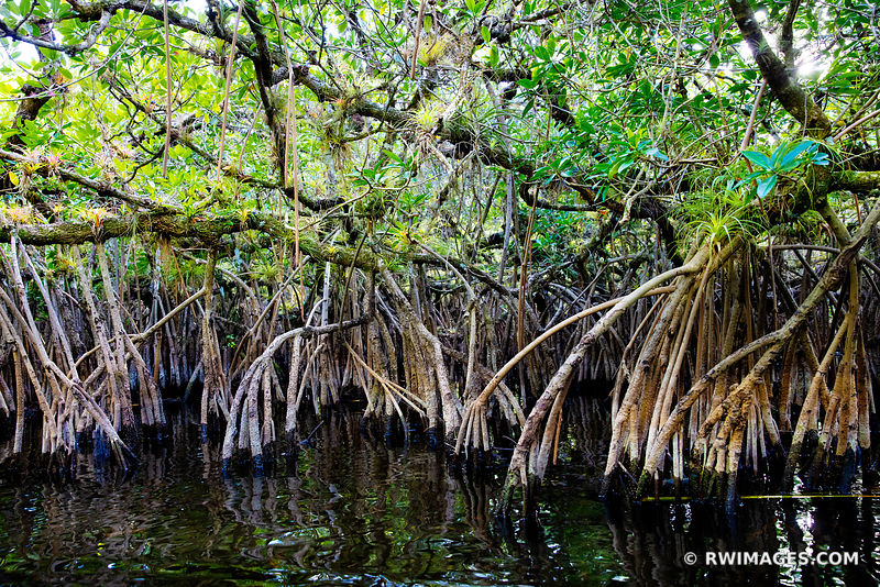 TURNER RIVER MANGROVE TUNNELS BIG CYPRESS NATIONAL PRESERVE EVERGLADES FLORIDA