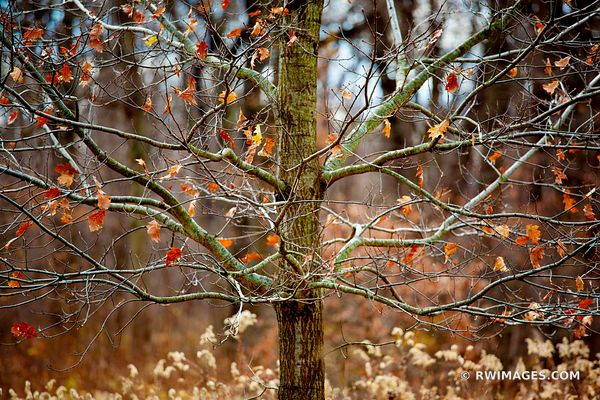 AUTUMN TREE CHICAGO NORTH SHORE RYERSON WOODS FOREST PRESERVE RIVERWOODS ILLINOIS MIDWEST LANDSCAPE NATURE