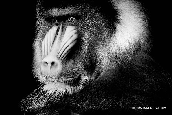 MANDRILL BLACK AND WHITE