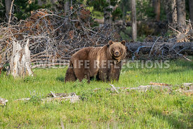 grizzly_bear_tetons_06202020-82