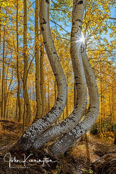 Dancing Aspens No. 2 (Vertical), Uncompahgre National Forest, Colorado