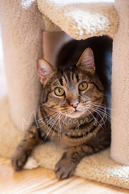 Tabby Cat Resting in Cat Tree