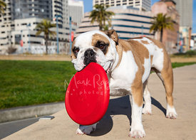 Fawn and White Bulldog with Red Frisbee
