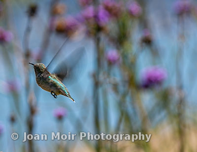 Hummingbird_Journey_XVII