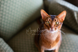 Close-up of Abyssinian Cat on Green Chair