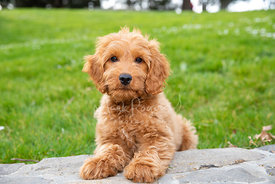Goldendoodle Puppy on Stone Wall