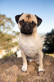 Pug with Slight Head Tilt on Rocks