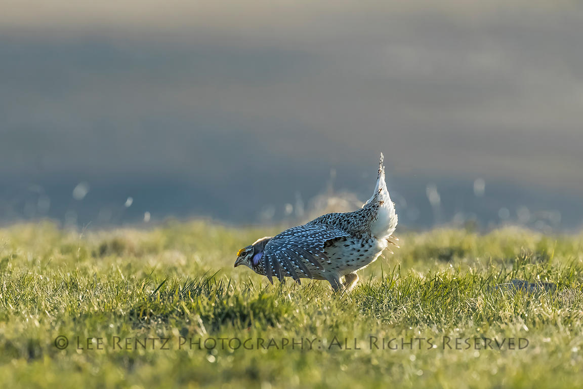 Sharp-tailed Grouse Males on Lek in Fort Pierre National Grassland