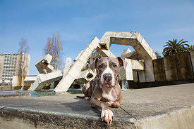 Pit Bull Lying in Front of Vaillancourt Fountain in SF's Embarcadero Plaza
