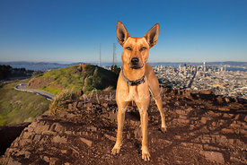 Red Mixed Breed Dog on San Francisco Twin Peaks