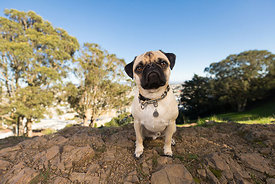 Pug Sitting on Rocks in Hilly San Francisco Park