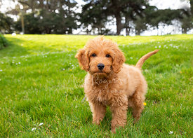 Goldendoodle Puppy in Park