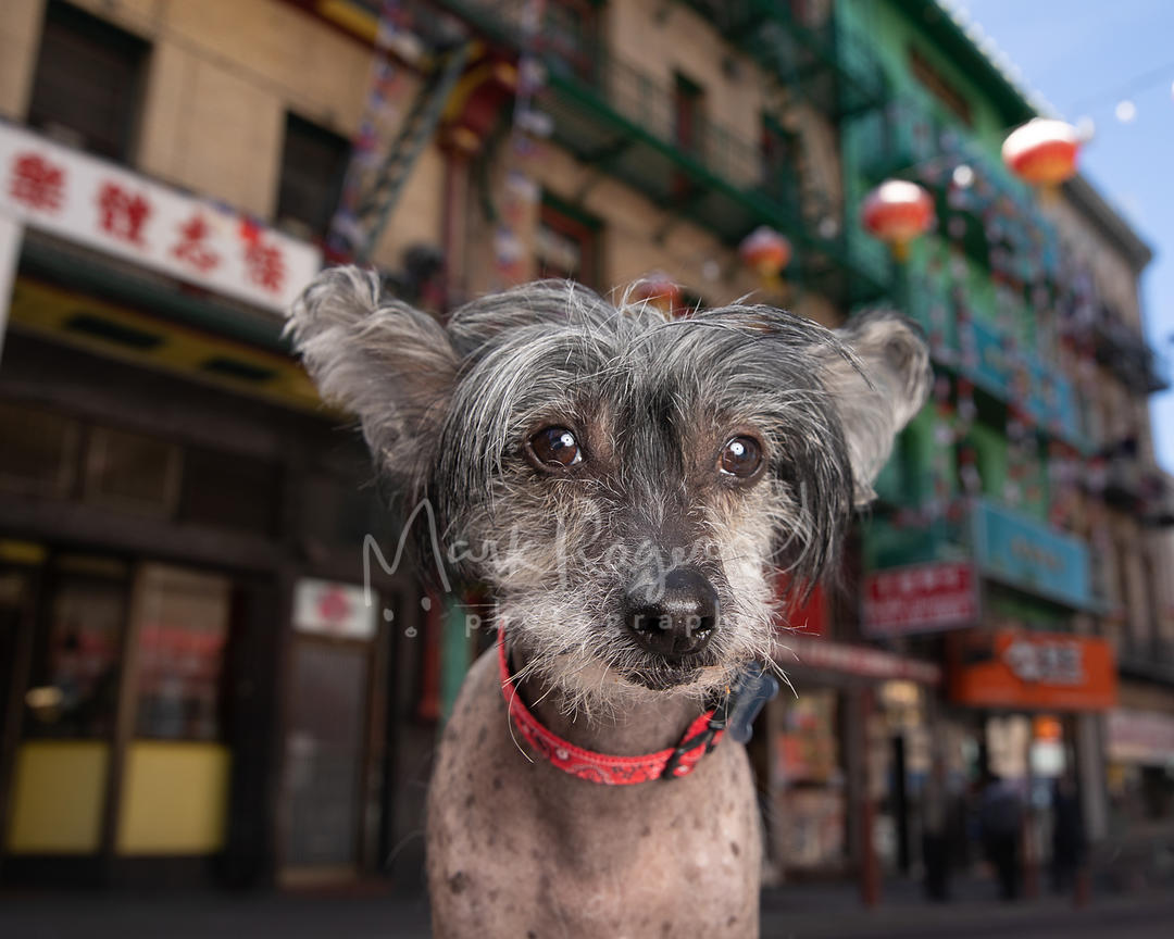 Close-up of Chinese Crested Dog in SF Chinatown
