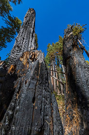Burnt Tree in Kings Canyon National Park