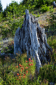 Stump and Wildflowers in Mount St. Helens National Volcanic Monument
