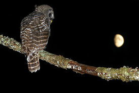 July - Barred Owl (juvenile)