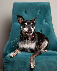 Studio Photo of Chihuahua Mix Sticking Tongue Out on Blue Chair
