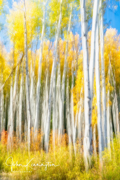 Aspens in the Wind, Gunnison National Forest, Colorado