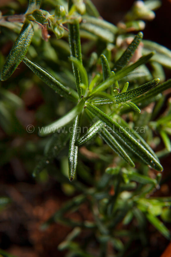 A close up image of rosemary leaves in a pot