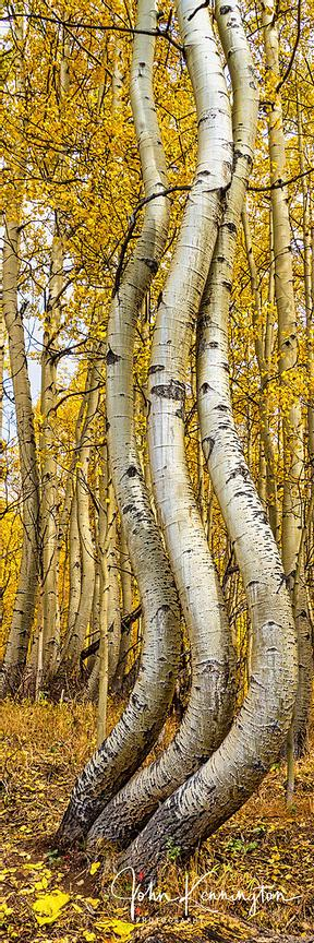 Dancing Aspens No.11 (Vertical Panoramic), Uncompahgre National Forest, Colorado