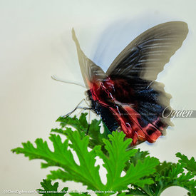 Mormon, Scarlet - Philippines (Papilio rumanzovia -  Butterfly)