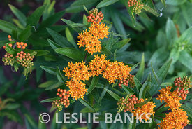 Butterfly Weed in a Home Garden