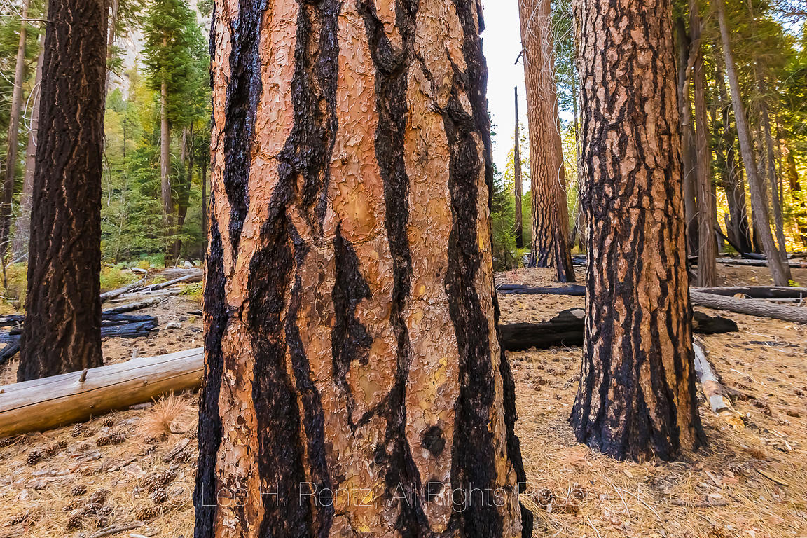 Ponderosa Pines in Kings Canyon National Park