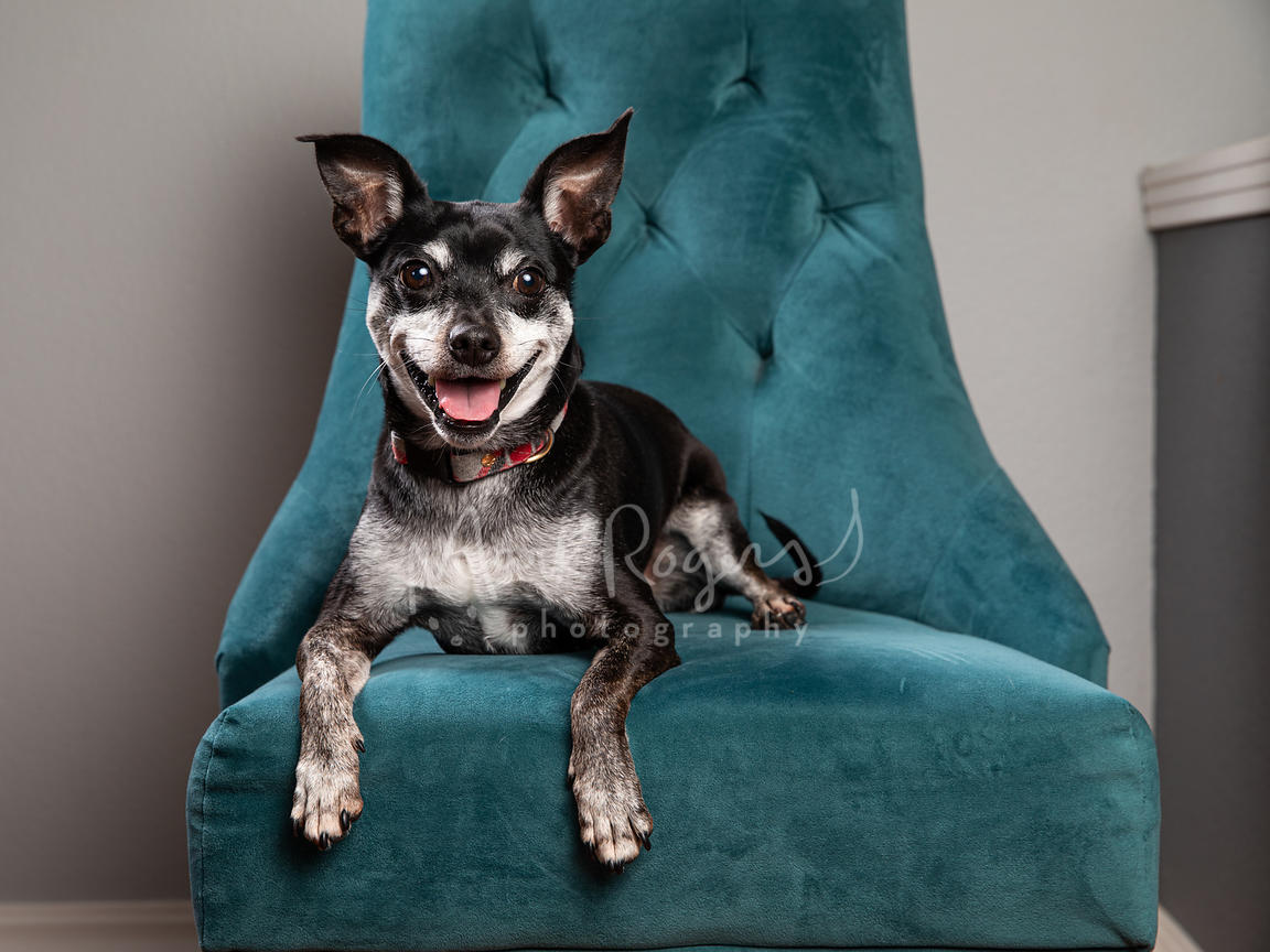 Studio Photo of Smiling Chihuahua Mix Lying on Blue Chair