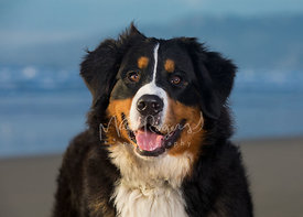 Close-up portrait of tri-color Bernese Mountain Dog looking directly at camera from shoulders up with a beach behind it