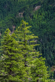 Conifers in Olympic National Forest
