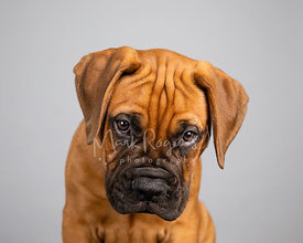 Studio Portrait Bull Mastiff Puppy Guilty Look on Gray