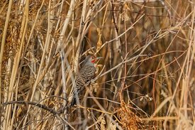 Northern Flicker at Malheur Wildlife Refuge