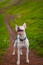 White Dog with Happy Expression on Hill