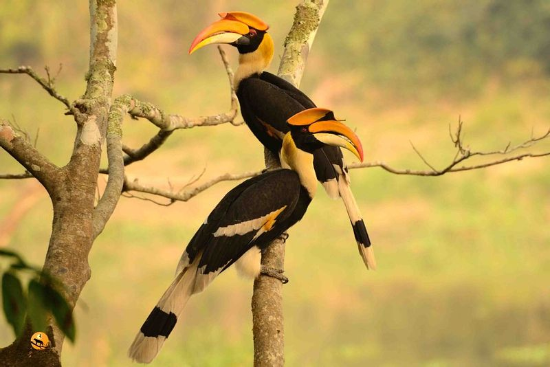 Great-Hornbill-Male-and-Female-in-Kaziranga-National-Park